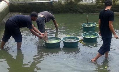 Cara Budidaya Ikan Gurame Di Kolam Terpal Dan Beton