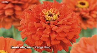 Zinnia Elegans Orange King