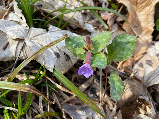 [Boraginaceae] Pulmonaria officinalis – Common Lungwort {Polmonaria maggiore}