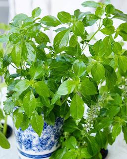 gambar tanaman kemangi