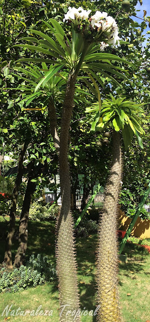 Otra imagen de la Palma de Madagascar, Pachypodium lamerei