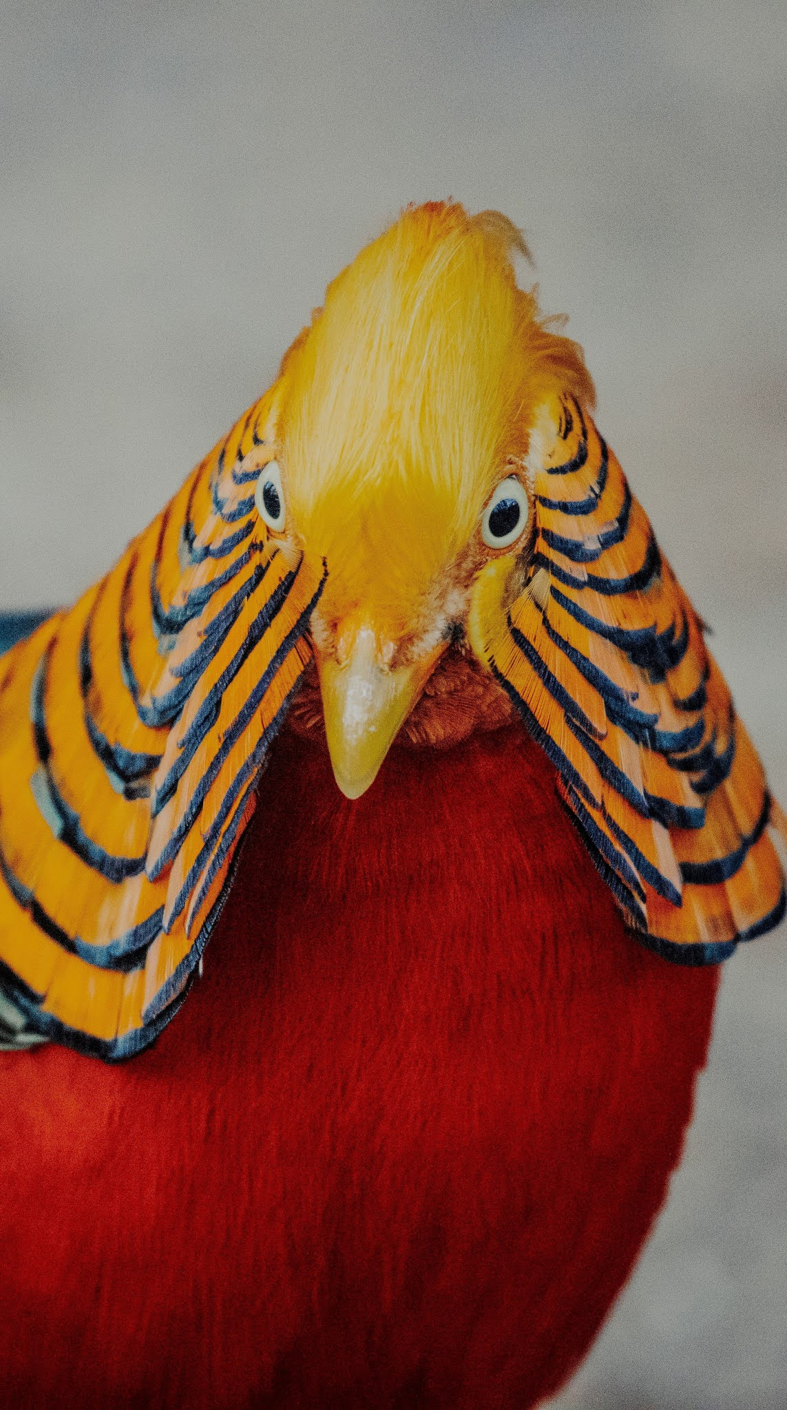 The amazing beauty of a golden pheasant.