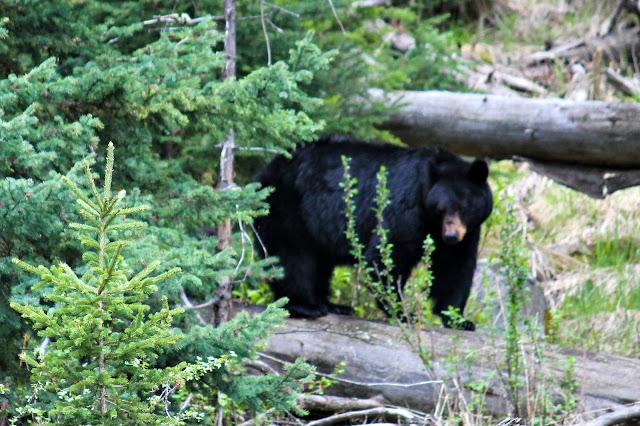 mama bear, YNP, http://bec4-beyondthepicketfence.blogspot.com/2016/05/work-hard-play-hard.html