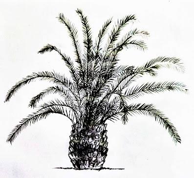 Pygmy Date Palm drawing