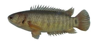 Pengalaman Memelihara Ikan Betok Rawa – Rawa