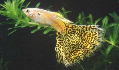 Ikan Guppy Yellow Lace - Cara Budidaya Ikan