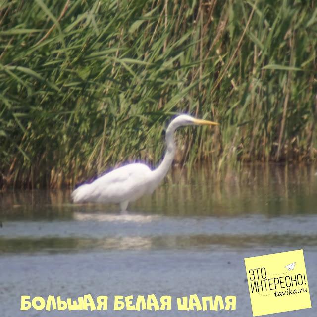 большая белая цапля на озере Кызыл Яр