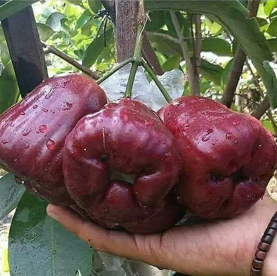 BIBIT JAMBU DALHARI SUPER MANIS Maluku