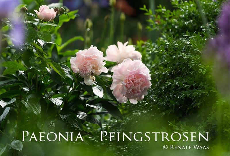 Gartenblog geniesser garten pfingstrosen pflanzenportrait for Pfingstrosen pflanzen