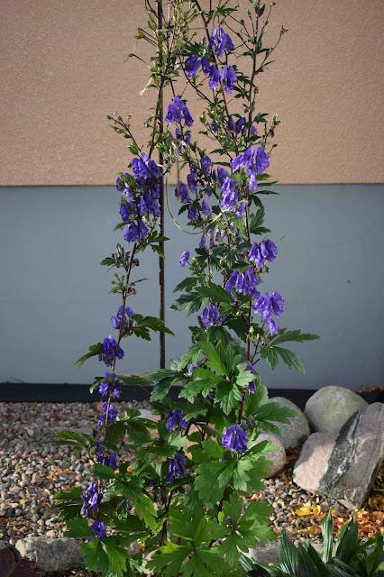 Aconitum sp.