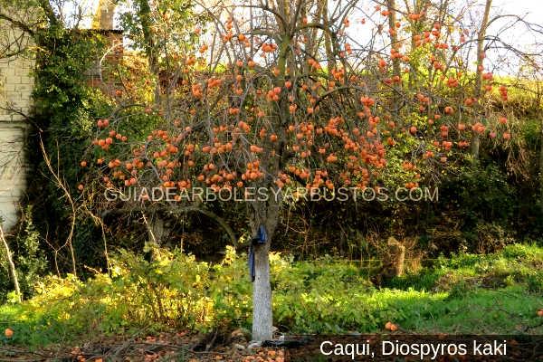 Imagen del árbol Caqui con frutos
