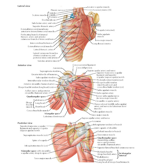 Scapulothoracic and Shoulder Dissection Anatomy