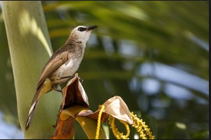 Suara Burung Trucukan Gacor Ropel untuk Masteran