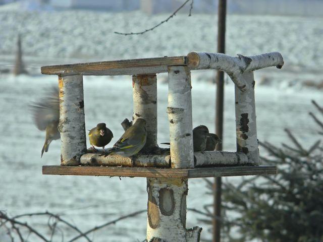 ptaki, dokarmianie, karma, dzwońce