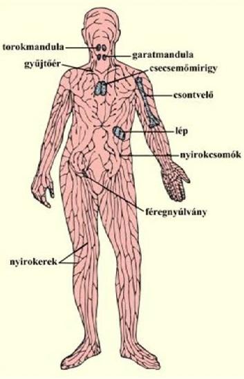 Korbféreg lokalizációja az emberi testben