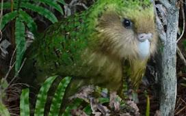 [Amazing]Facts of Kakapo Bird-Flightless Bird.♨(⋆‿⋆)♨