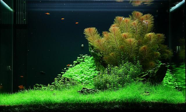 Rau má Hương có thể trồng thành bụi trong hồ thủy sinh