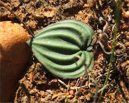 Eriospermum capense -
