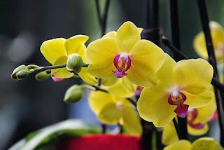 Tanaman Phalaenopsis anggrek unik