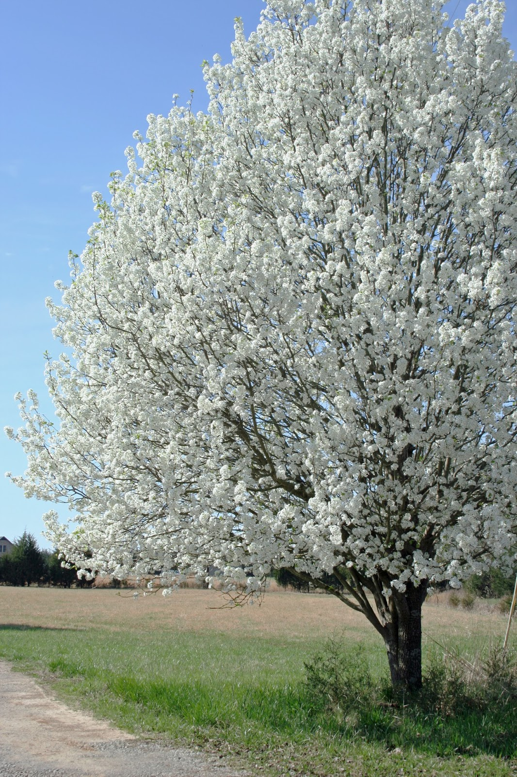 A southern daydreamer Bradford pear