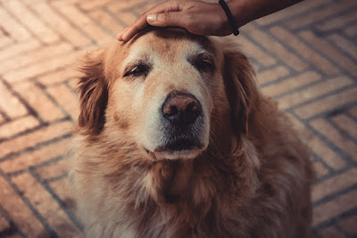 A golden retriever is being patted on the head