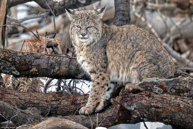 Yellowstone-Bobcats