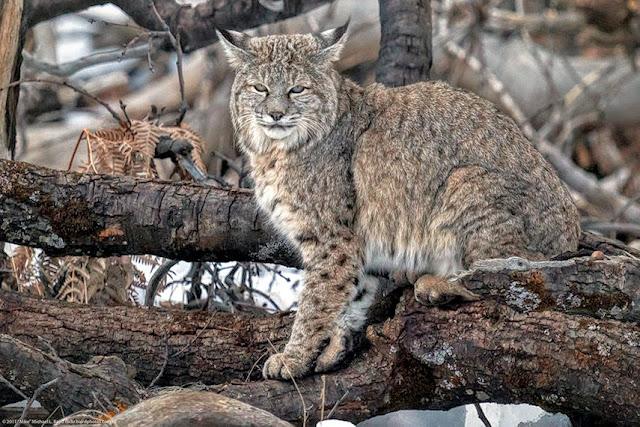 Yellowstone-Bobcats