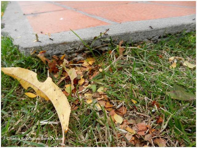 Camino de hormigas tapizado de hojas cortadas - Chacra Educativa Santa Lucía