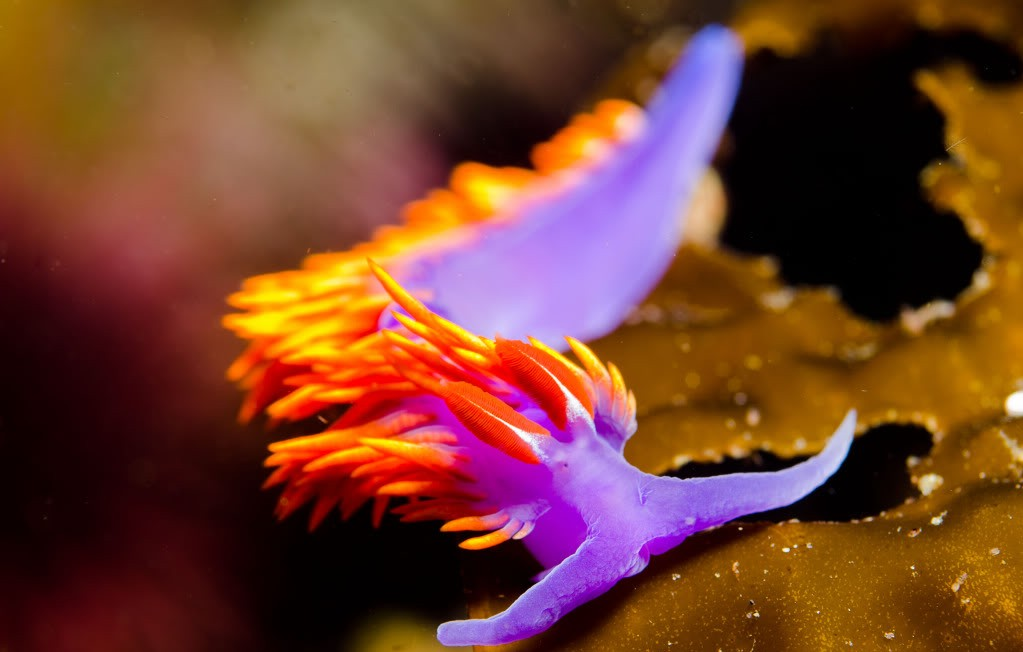 Image of a colorful nudibranch.