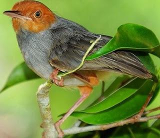 2 Jenis Makanan Terbaik Burung Prenjak Yang Masih Belum Ngevoer