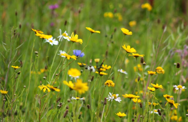 Oakfield Donegal Wildflower Meadow