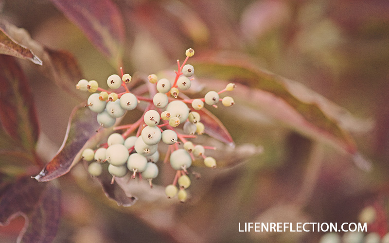 Jingle Bell Berries Photo by @lifenreflection