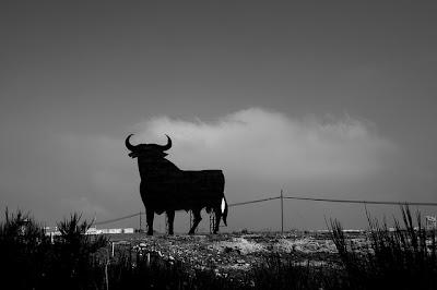 Fighting bull in the horizon