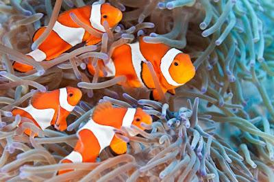 Ikan Hias Air Laut Clownfish ( Ikan Badut )
