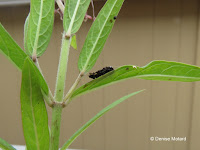 Was this Monarch caterpillar killed by a spider? - © Denise Motard