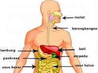 Sistem Pencernaan Makanan-Proses Pencernaan Makanan Pada Manusia