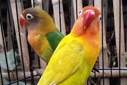 Ilmu Jitu Cetak Lovebird Juara