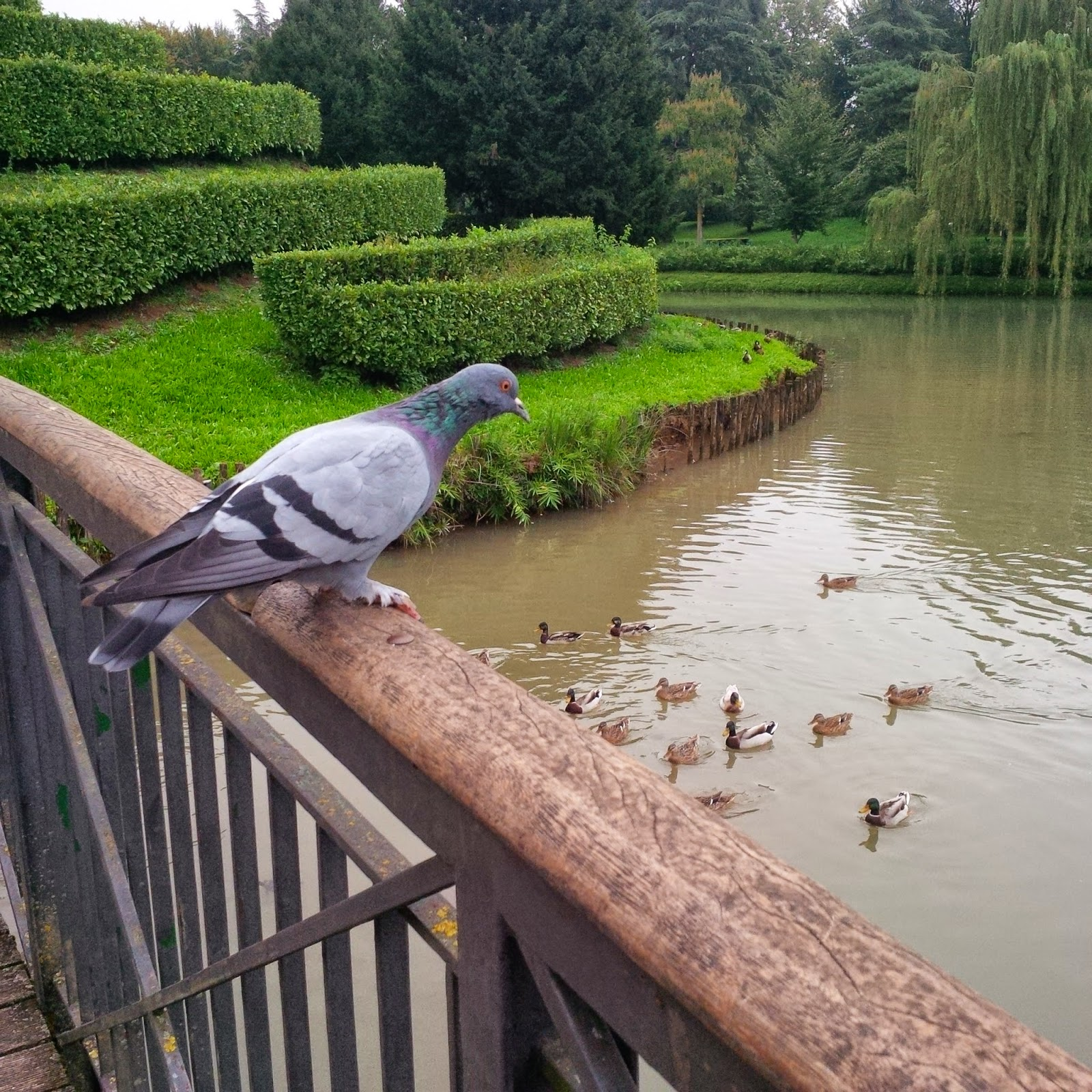 A pigeon peeking at the ducks in the pond in Parco Querini in Vicenza