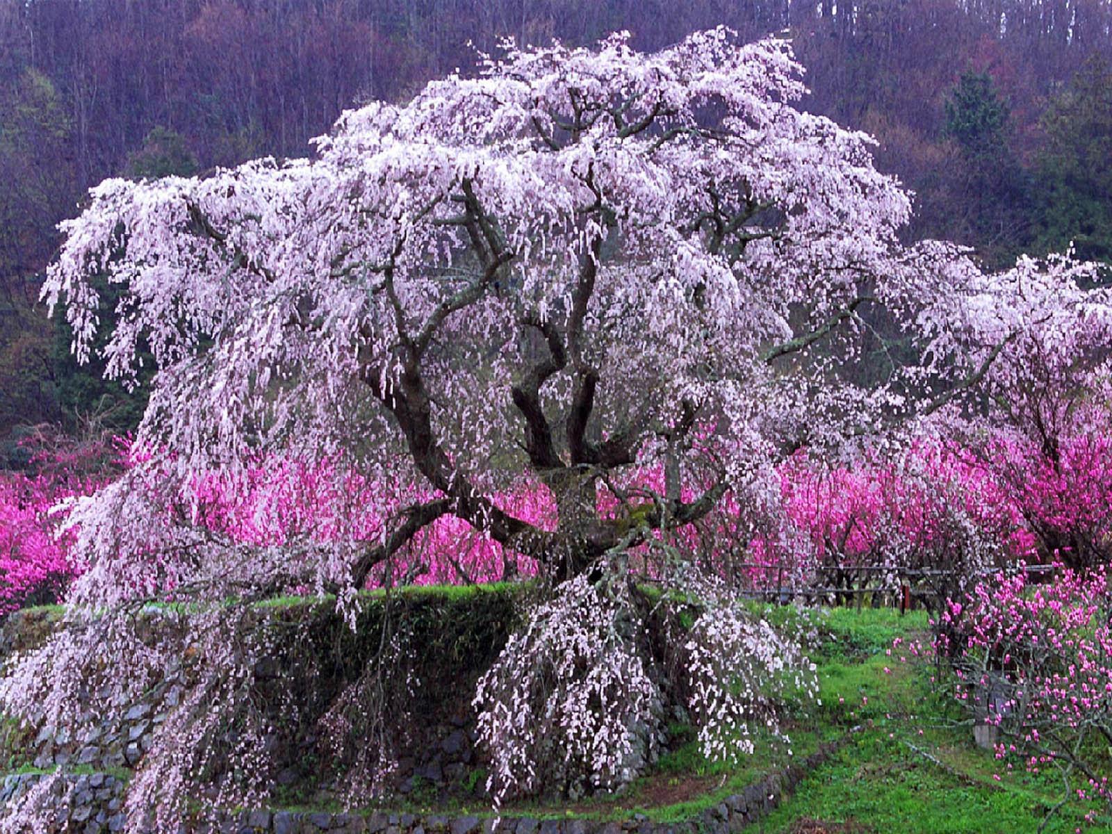 cherry blossem tree background wallpaper - photo #16