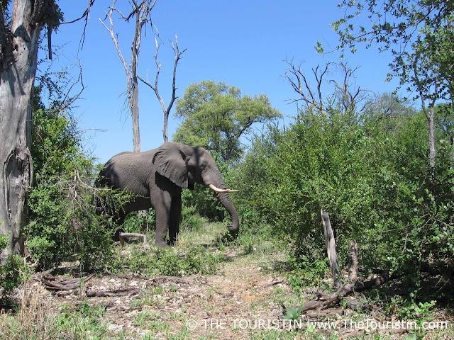 elephant bull botswana - the touristin Dorothee Lefering