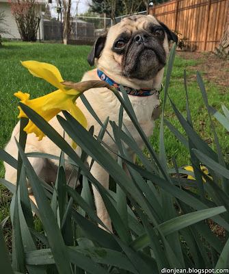 Liam the pug and his daffodils