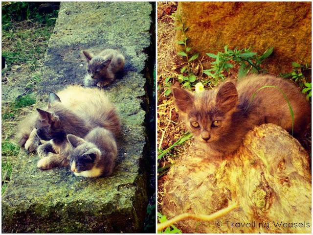 Azores Katzen