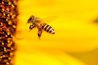 Cara Budidaya Ternak Lebah Madu Mudah
