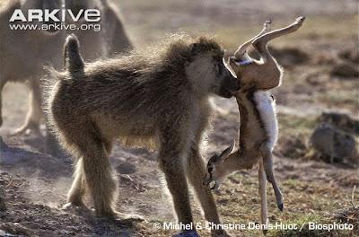 Gazelle and Baboon