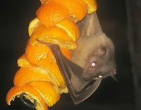 Egyptian fruit bat clinging to oranges