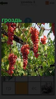 Среди зеленых насаждений висят грозди спелого винограда красного цвета