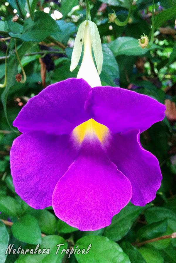 Flor característica del Manto de Rey, Thunbergia erecta