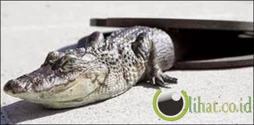 Aligator hidup selokan New York
