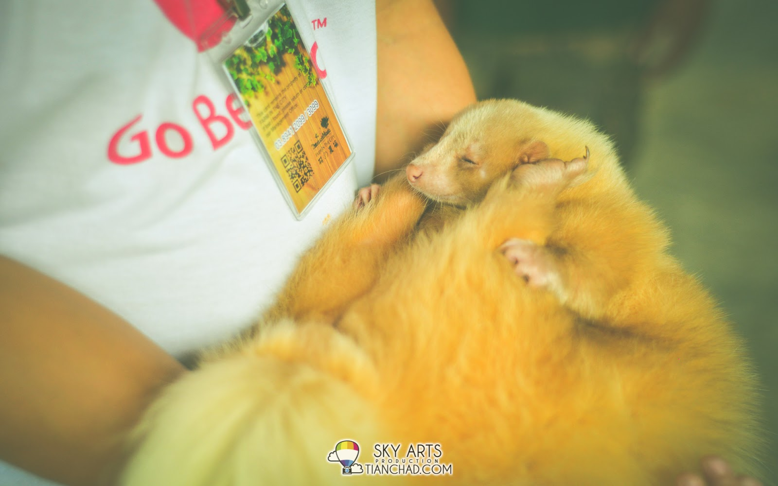Albino skunk sleeping soundly in her arms