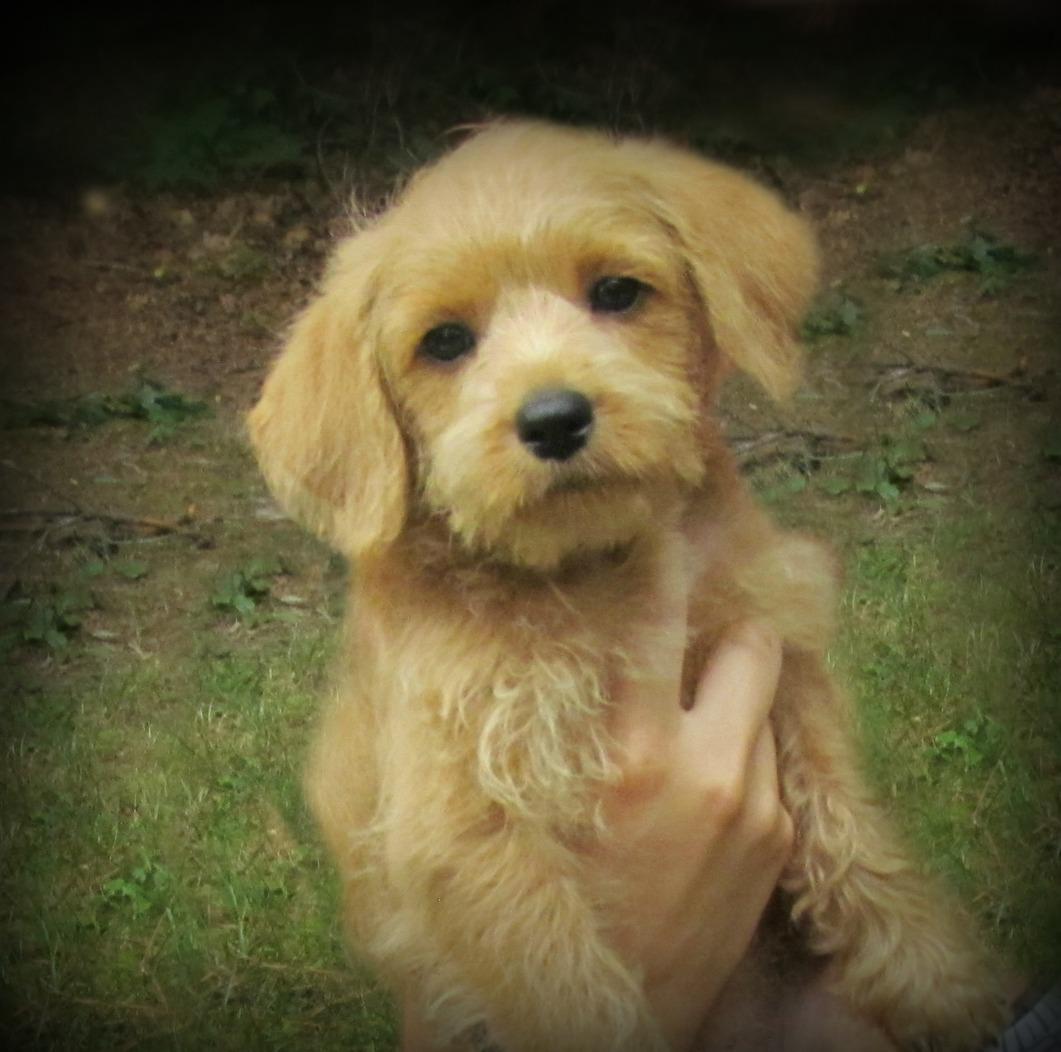 Growing Puppies - Virginia Schnoodle Breeder ...